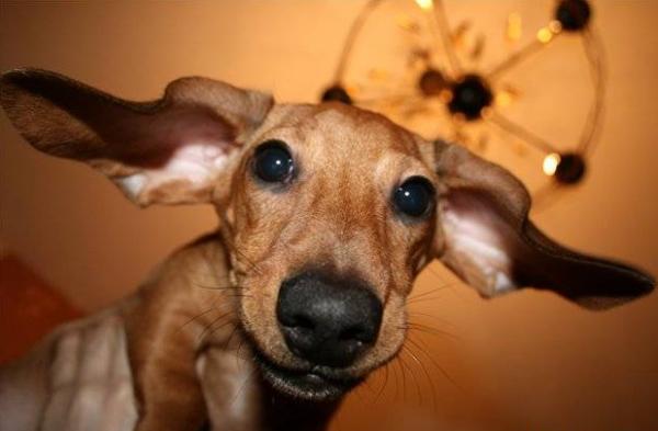 Уши у таксы-3. Как чистить уши собаке