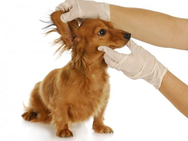 Почему собака трясет головой и чешет уши чем лечить