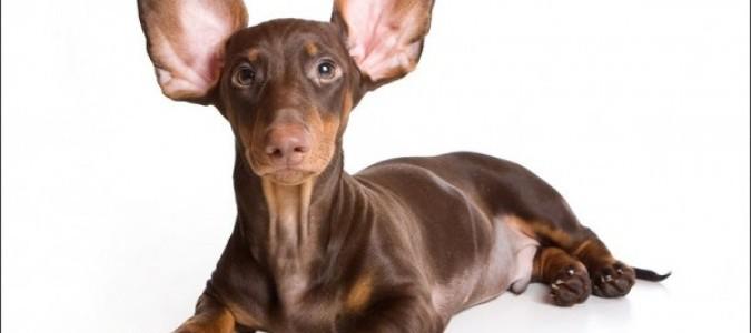 Уши у таксы-6. У собаки болит ухо.