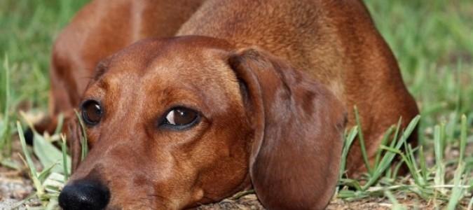 Уши у таксы-5. Красные уши у собаки