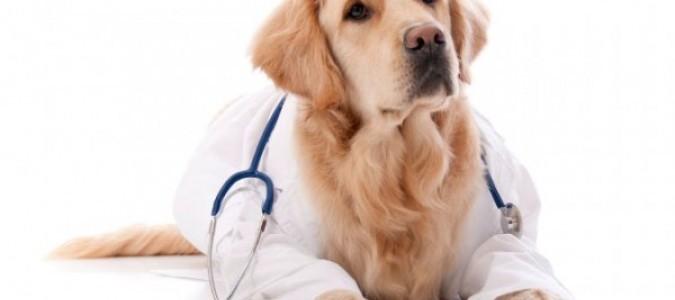 Уши у таксы-10. Лечение отита у собак