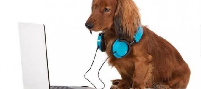 Уши у таксы-17. Как почистить уши собаке в домашних условиях