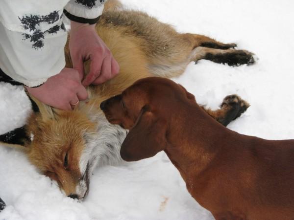 Охота с таксой на лису