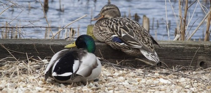 Охота с таксой на птицу