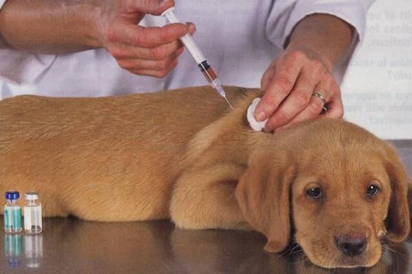 Прививки таксам. Когда собаке делать прививки