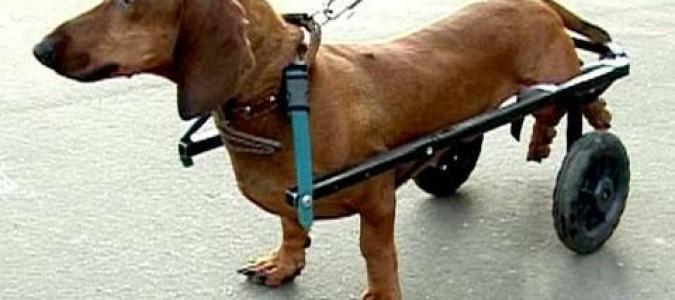 Болезни лап у таксы. У собаки отказывают задние ноги причины