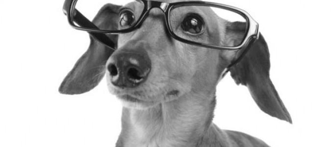 Болезни глаз у таксы - 2. Лечение аденомы третьего века у собак