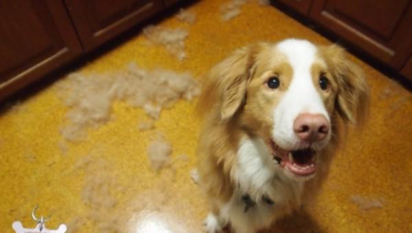 выпадение шерсти у собаки описание болезни фото