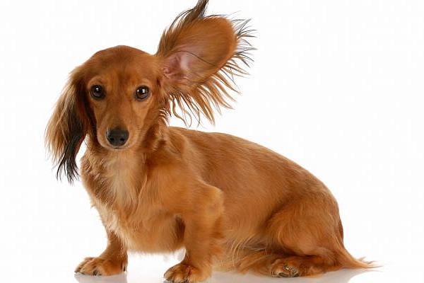 Препараты для шерсти таксы -2. Шампунь для собак для шерсти