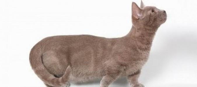 Манчкин или кошка-такса